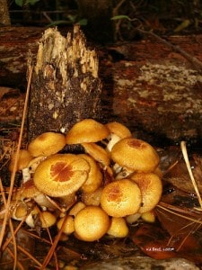 fresh mushrooms for mushroom barley soup